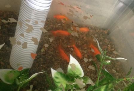 Fisk i aquaponic