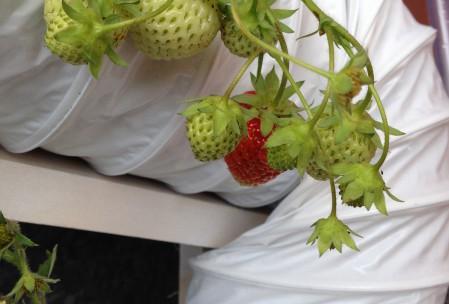 Grønne jordbær på altan