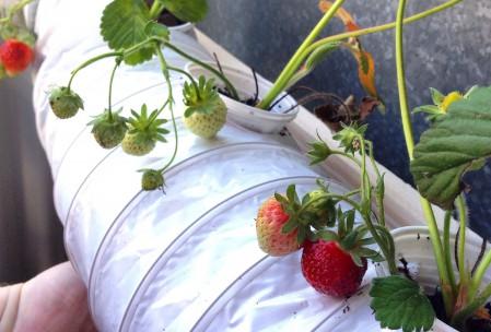 Hydroponic jordbær system