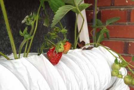Jordbær i hydroponic-system