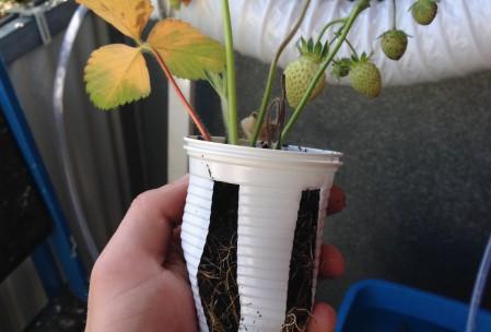 Jordbær i hydroponic