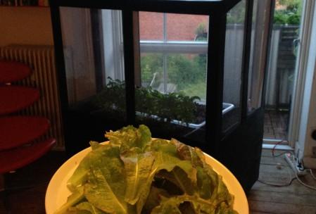 Salad from aquaponics