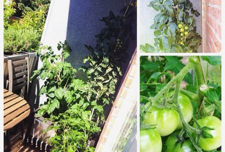 Tomatplanter på altan