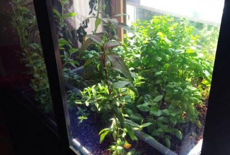 Krydderurter i drivhus 2